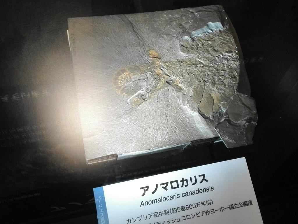 国立科学博物館 生命大躍進展 アノマロカリス実物化石