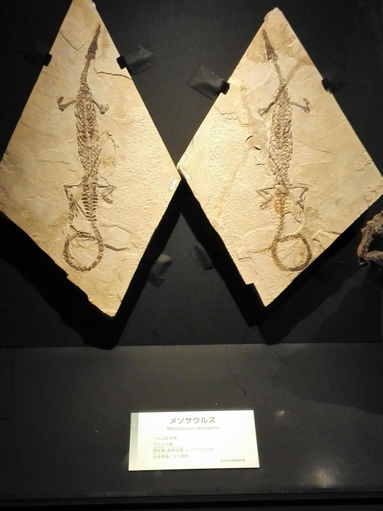 国立科学博物館 生命大躍進展 メソサウルス実物化石