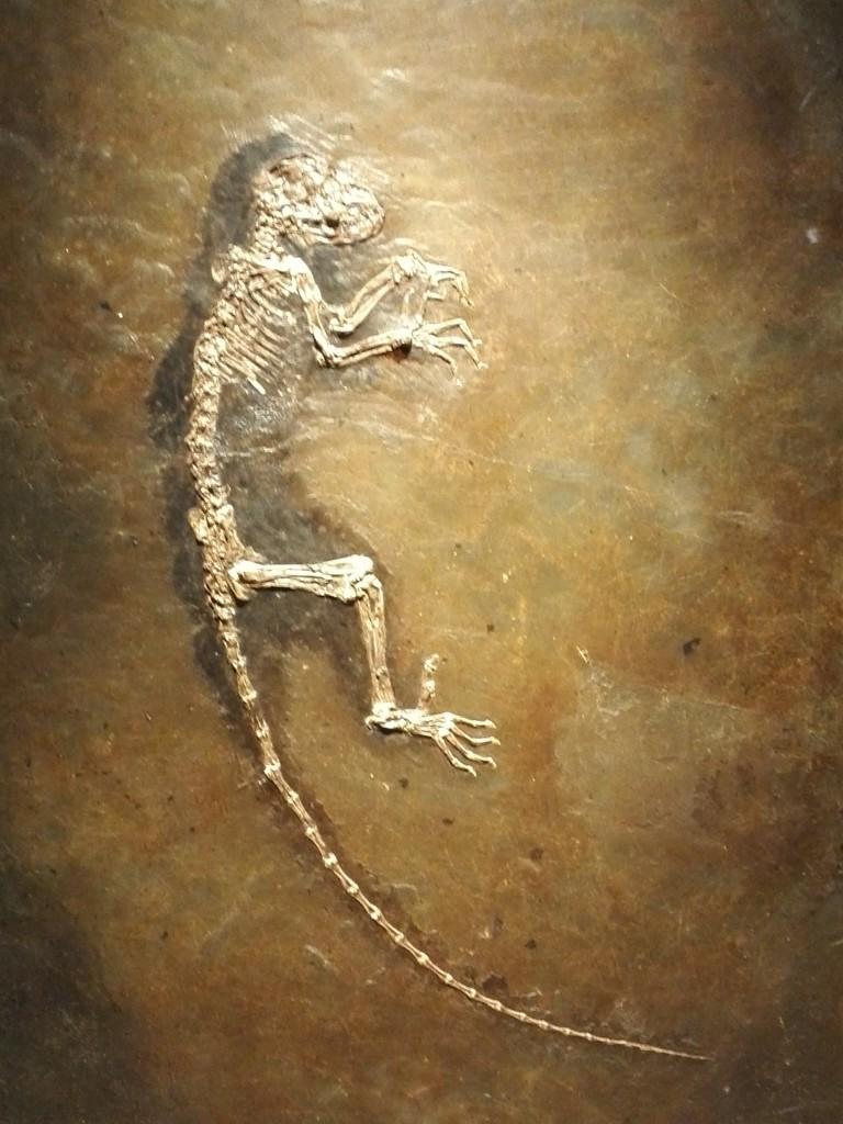 国立科学博物館 生命大躍進展 奇跡の霊長類化石イーダ