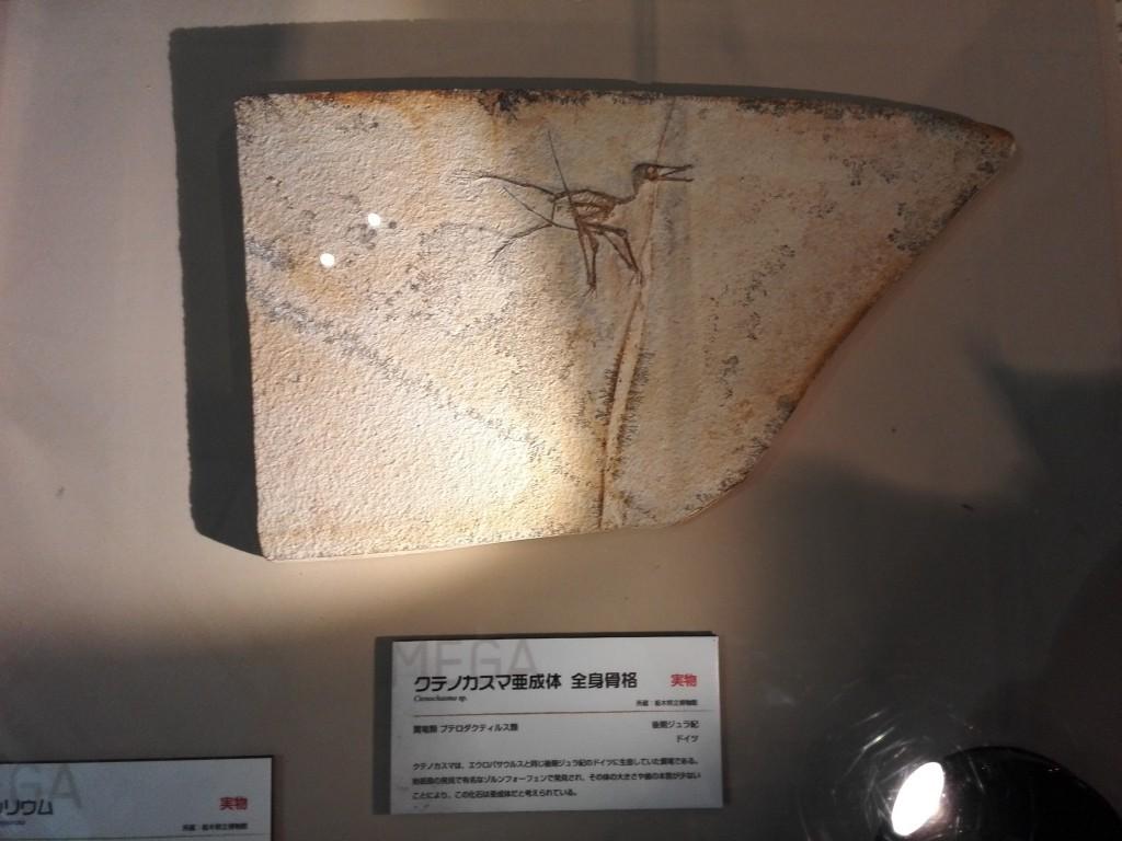 メガ恐竜展2015 クテノカスマ亜成体 実物化石