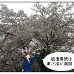 なぜか越後湯沢へ!新鮮な空気、桜満開、つくし畑!大自然を堪能!
