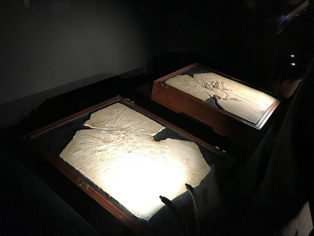 大英自然史博物館展 始祖鳥の化石