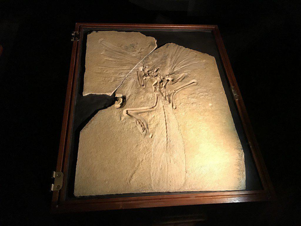 大英自然史博物館展 始祖鳥化石
