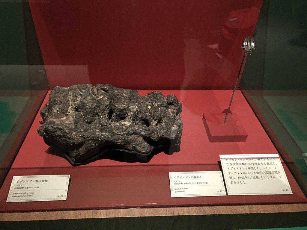 大英自然史博物館展 イグアノドンの化石