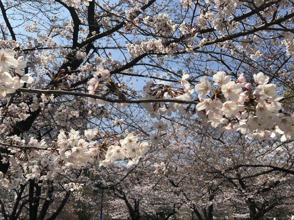 2017年4月の桜