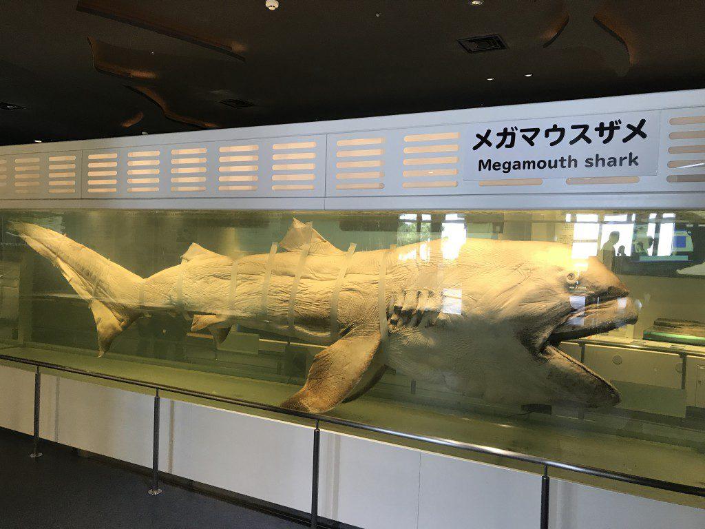 美ら海水族館 メガマウスザメ標本