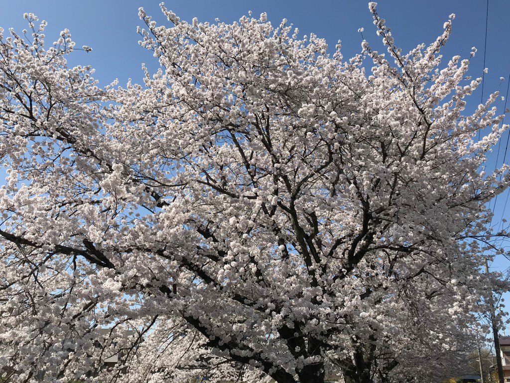 多治見市 桜の木