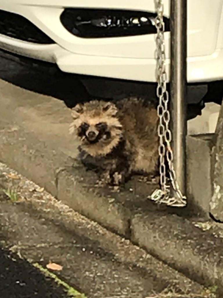 埼玉県 近所の狸